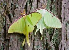 Luna Moths Royalty-vrije Stock Afbeelding