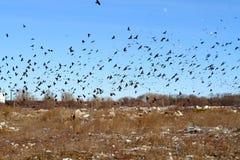 Luna olha o rebanho enorme dos corvos e das gaivota que circundam sobre o th Imagem de Stock