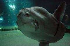 Luna-peixes Fotos de Stock