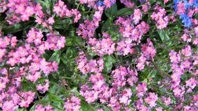 Luna rosada de las flores Imágenes de archivo libres de regalías