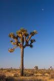 Luna sopra l'albero di Joshua Immagine Stock