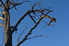 Luna y árbol Fotografía de archivo libre de regalías
