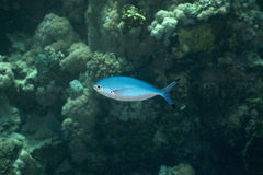 Lunar fusilier (caesio lunaris). Taken in the Red Sea Royalty Free Stock Image