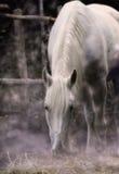 lunar häst Arkivfoto