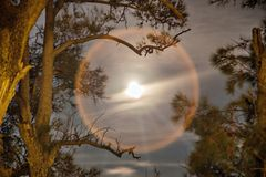Lunar halo in the branches of a spruce