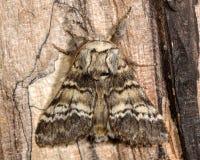 Lunar marbled brown moth (Drymonia ruficornis) Royalty Free Stock Photos