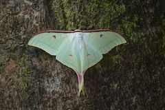 Lunar or Moon moth from Kanger Ghati National Park Stock Image