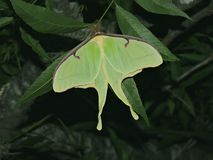 Lunar moth. This lunar moth is hanging around in the trees at dusk laying eggs royalty free stock image
