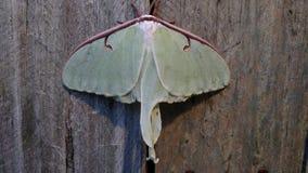 Lunar Moth royalty free stock image