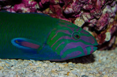 Lunare Wrasse Royalty Free Stock Photos