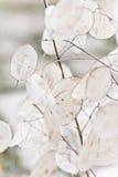 Lunaria Immagini Stock