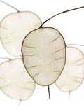 Lunaria in abstracte vorm stock afbeeldingen