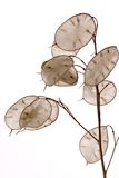 Lunaria annua. The plant lunaria annua agaist white background Stock Image