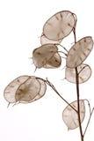 Lunaria annua Stock Image
