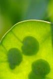 Lunaria Annua (honradez) Seedpod con las semillas Imagenes de archivo