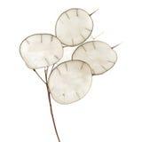 Lunaria annua, silver dollar plant Stock Photo