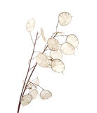 Lunaria annua, silver dollar plant Stock Images