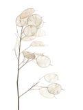 Lunaria annua, silver dollar plant Royalty Free Stock Image