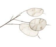 Lunaria annua, silver dollar plant Stock Photos