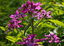 Lunaria - a beautiful garden flower Stock Photos
