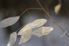 Lunaria das plantas do inverno imagem de stock royalty free