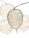 Lunaria in der abstrakten Form stockbilder