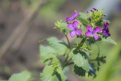 Lunaria in fiore in primavera Fotografia Stock