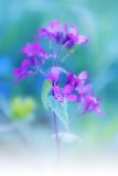 Lunaria, flower stage honesty Stock Photo