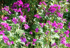 Lunaria or Honesty flowers in the garden. Lunaria or Honesty plants growing in a garden. Purple flowers in the sunshine stock photography