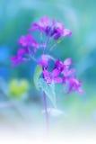 Lunaria, honradez de la etapa de la flor Foto de archivo