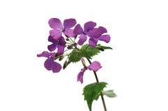 Lunaria, honradez de la etapa de la flor Fotos de archivo