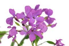 Lunaria, honradez de la etapa de la flor Fotografía de archivo