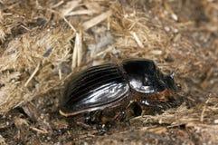 lunaris dung copris жука horned Стоковая Фотография RF