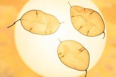Lunarius种子荚叶子 与装饰叶子的自然抽象背景播种荚 免版税库存照片