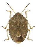 Lunata di Staria dell'insetto Immagini Stock Libere da Diritti