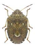 Lunata di Staria dell'insetto Immagini Stock