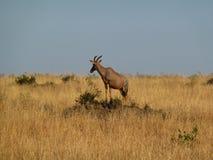 Lunatus del Damaliscus dell'antilope del Topi fotografia stock libera da diritti