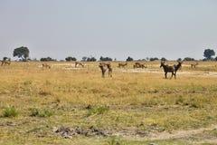 Lunatus do Damaliscus, Topiand Tsessebe, no parque nacional de Bwabwata, Namíbia Fotos de Stock