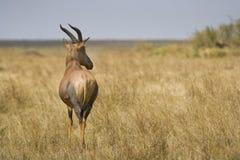 Lunatus Masai Mara, Κένυα Damaliscus Topi στοκ φωτογραφία με δικαίωμα ελεύθερης χρήσης