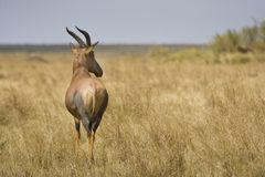 Lunatus Masai Mara, Kenia van Topidamaliscus Royalty-vrije Stock Fotografie