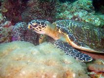 lunch żółwia Zdjęcia Stock