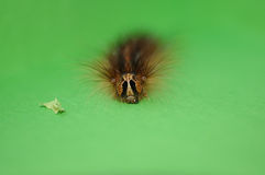 After lunch. Small caterpillar after eating salad resting on green surface. With copy space Stock Photo
