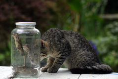 Lunch. A cat looking at two scared toads in a jar Royalty Free Stock Photo