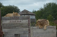 Lunch break with the Lions on Train stock photos