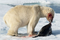 Lunch för isbjörn royaltyfri foto