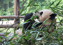 Lunch Giant Panda Stock Photos