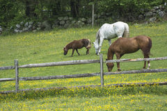 Lunch Pasture. This is lunch for these three horses in this pasture Stock Photo