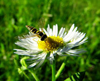 Lunch. The photo of an insect. It is on the flower eating Stock Images