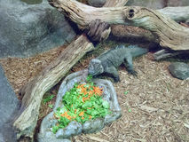 Lunch for Rhinoceros Iguana Stock Photography