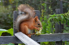Lunch squirrel Royalty Free Stock Image